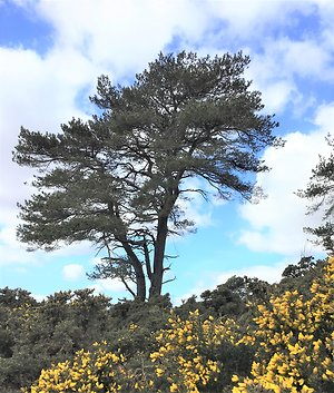 What we do. Pine Tree and Gorse